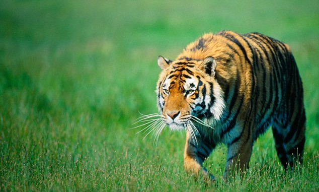 Nepal is home to 200 tigers which is more than 5% world's  total tiger population